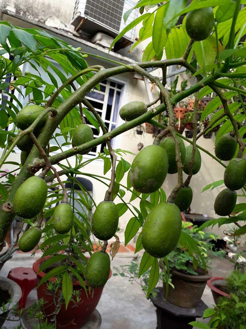 Cây cóc thái, một loại cây ăn quả dễ trồng, ăn ngon miệng